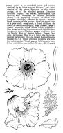 Poppy Heads DL Hobby Art Stamp Set (CS114D)